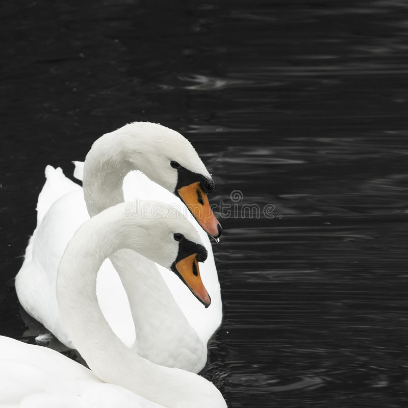 Two swans royalty free stock images
