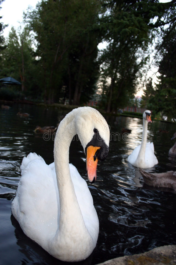 Download Two Swans stock photo. Image of water, pond, peacefull - 1884848