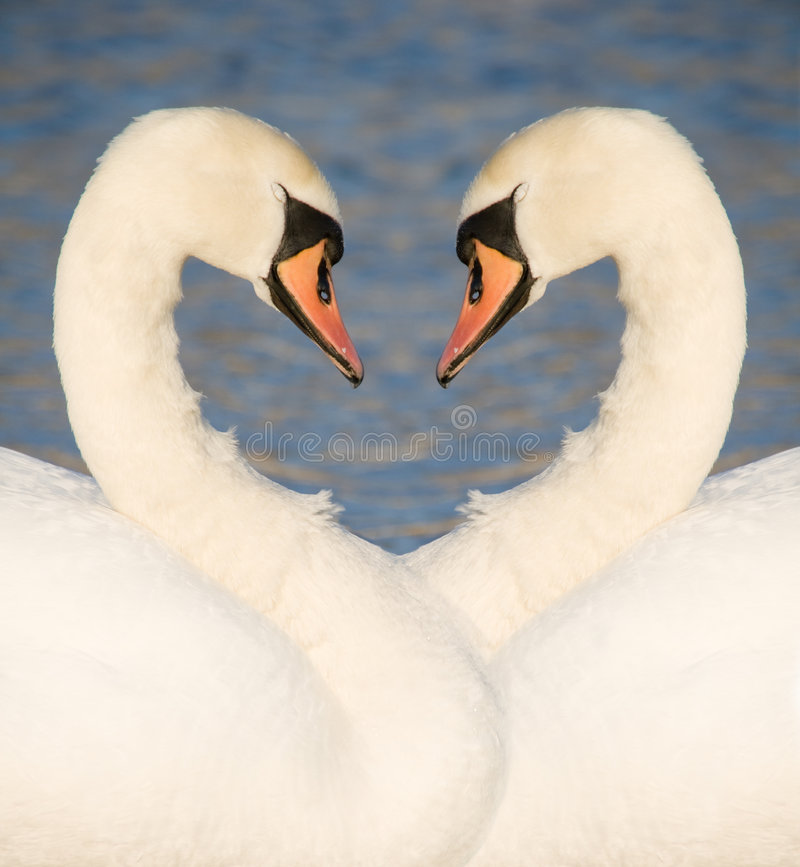 Free Two Swans Royalty Free Stock Photo - 4772165