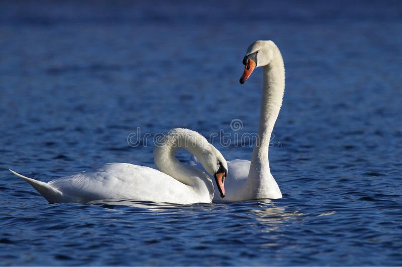 Two Swans on a Blue Lake stock photography