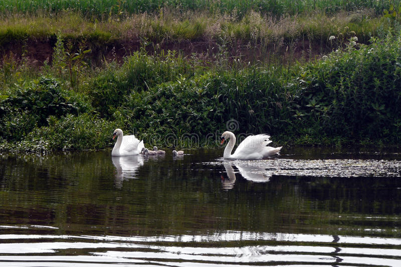 Two swans with cygnets. Two swans with their young cygnets gliding along the River Otter in Devon. South West England royalty free stock images