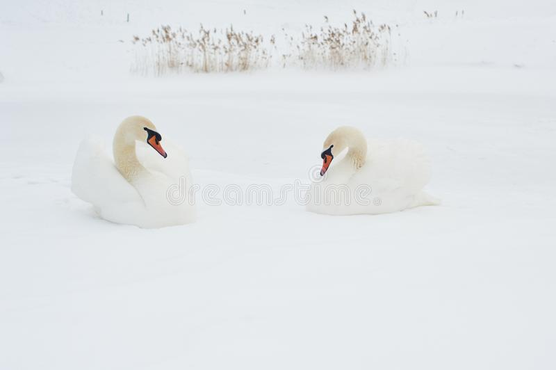 Swans in winter. Beautiful bird picture in winter nature with snow. royalty free stock image