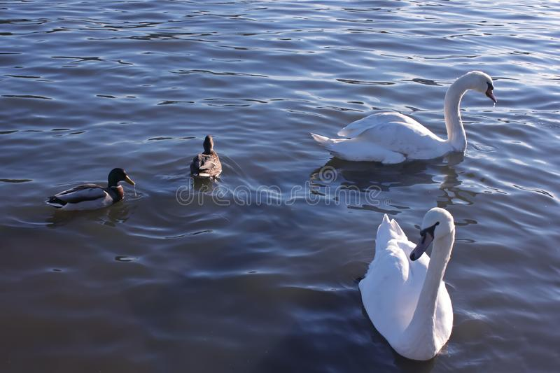 Two swans and ducks on lake, happiness. Two swans and ducks on lake, beautiful day, happy birds, happiness stock image