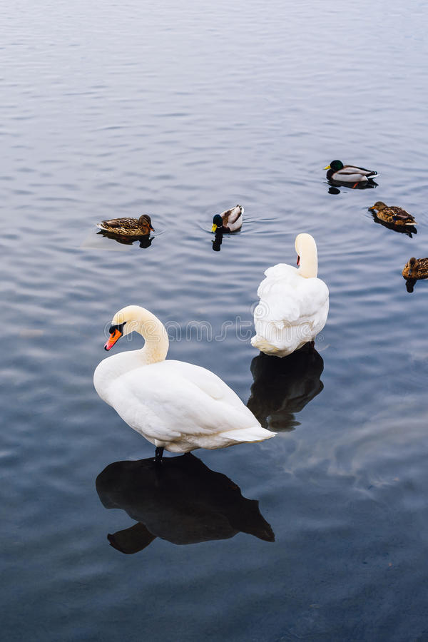 Two Swans and Ducks on Pond. stock photos