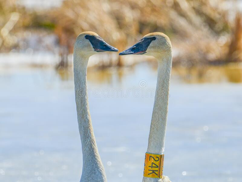 Two swans facing each other in the shape of a heart - taken in late winter / early spring in the Crex Meadows Wildlife Area in Nor. Thern Wisconsin stock photography