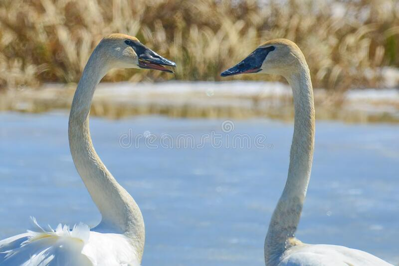 Two swans facing each other in the shape of a heart - taken in late winter / early spring in the Crex Meadows Wildlife Area in Nor. Thern Wisconsin stock images