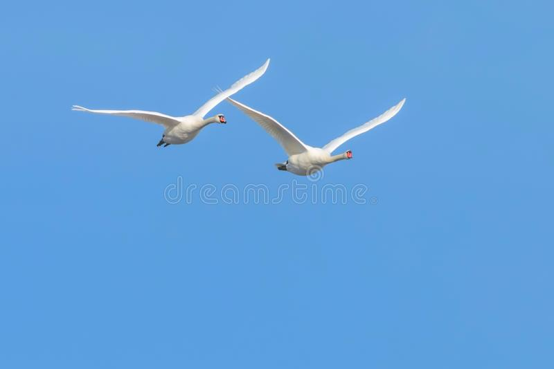 Two Swans in flight blue sky Cygnus olor royalty free stock images