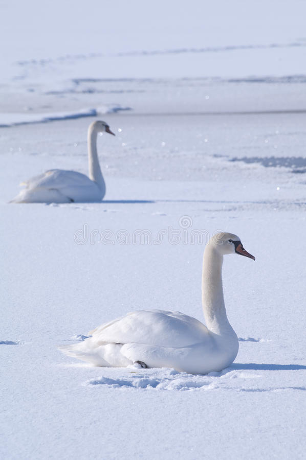 Download Two Swans On A Frozen Lake Stock Photo - Image: 23203640