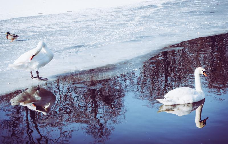 Two swans on the frozen pond swimming and standing on ice stock photography