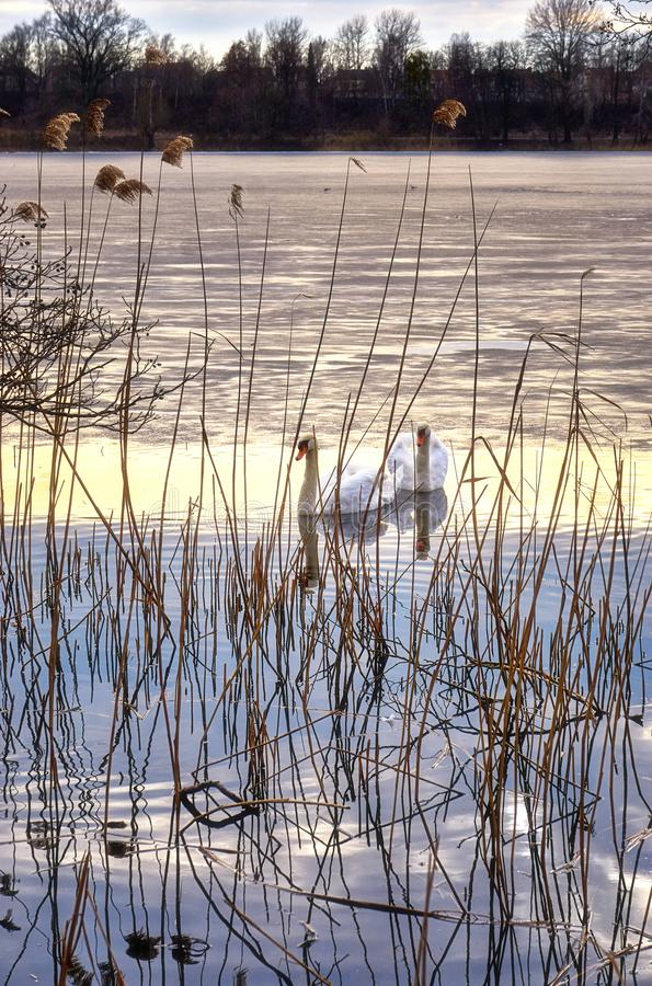 Two swans in a half frozen lake behind reeds royalty free stock photography