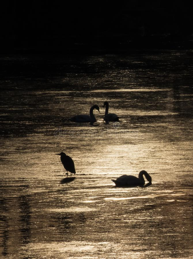 Silhouette of swans and heron diving for food during beautiful sunset in river Bosut. Vinkovci, Croatia.tif. Two swans and heron feeding on the sunset and stock photo