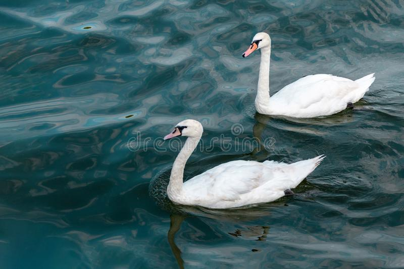 Two swans in high seas. Love concept symbol. Lovely couple. Blue green salt water royalty free stock image