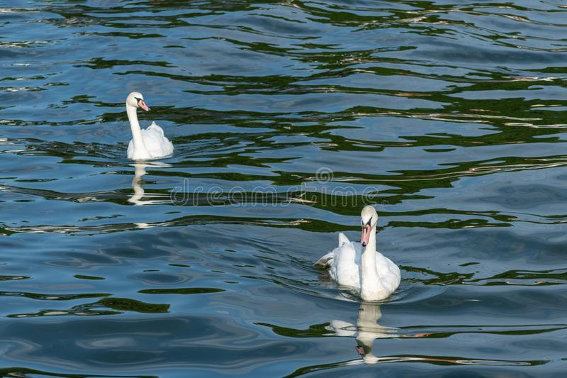 Two swans in high seas. Love concept symbol. Lovely couple. Blue green salt water royalty free stock images