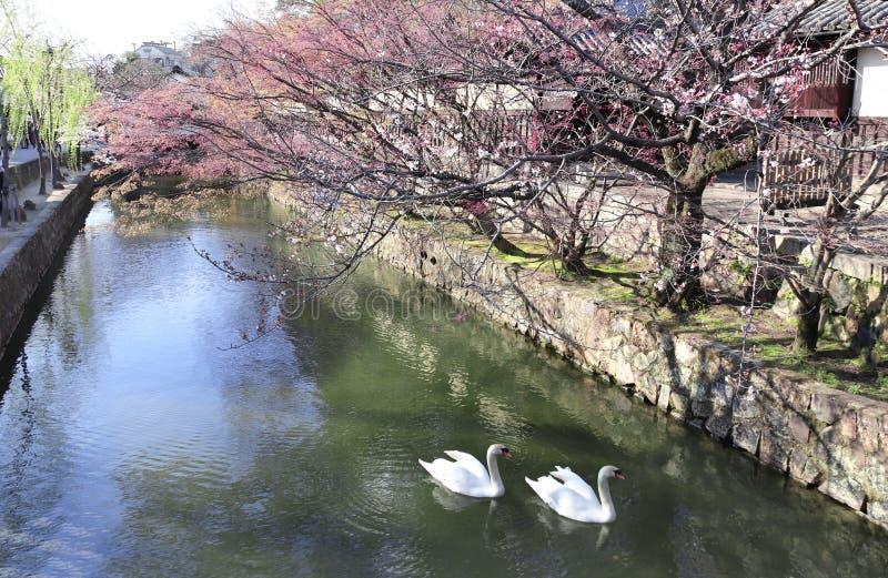 Two swans in Kurashiki canal, Kurashiki city, Japan stock photos