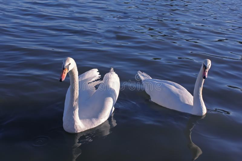 Two swans on lake, happiness. Two swans on lake, beautiful day, happy birds, happiness stock photo