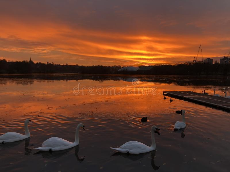Swans on a lake - London stock photo