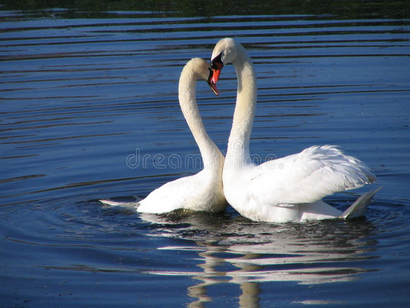 two swans in love royalty free stock photography