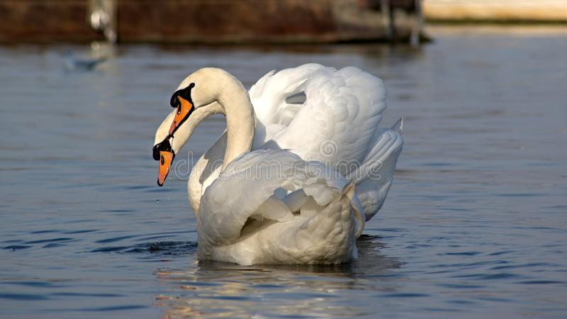 Two swans in love looking at camera stock photo