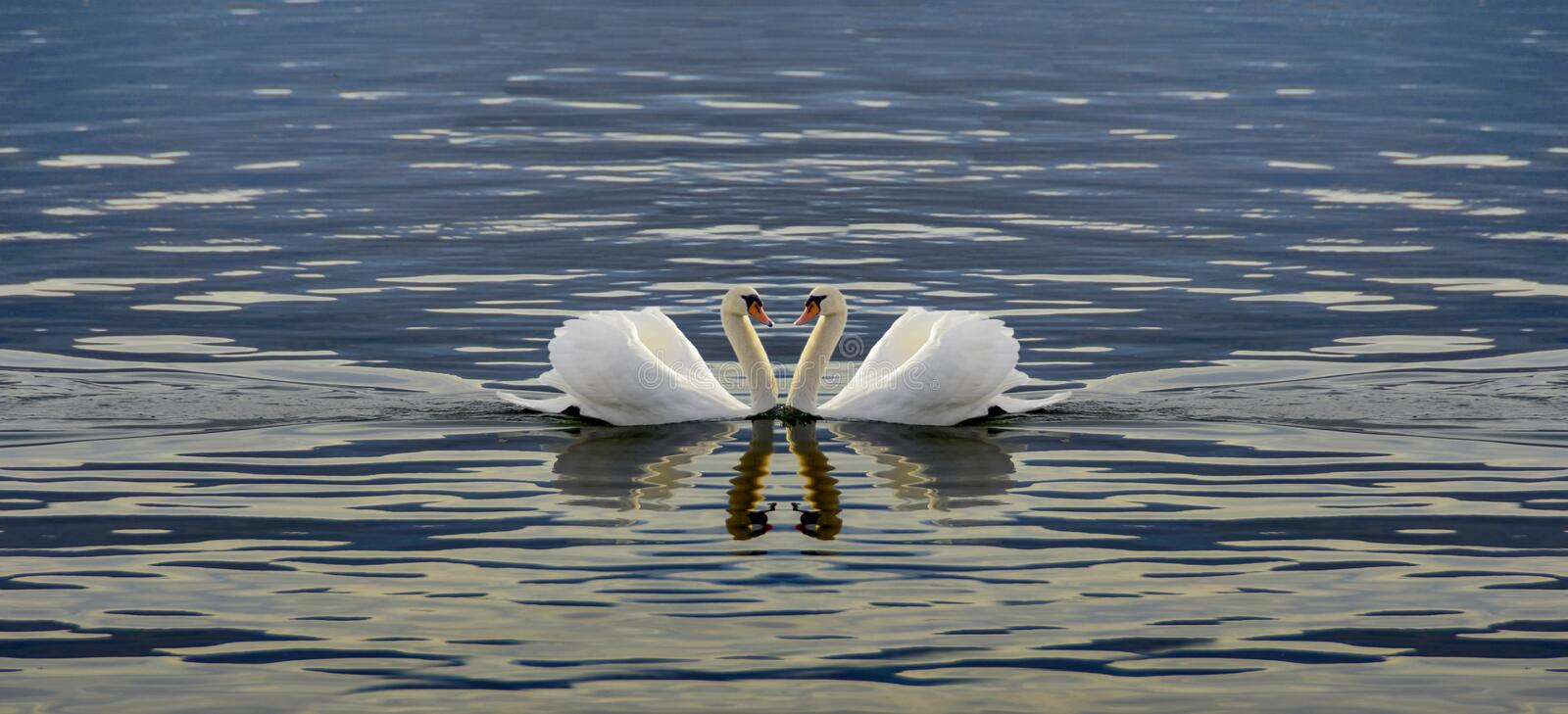 Two Swans Making A Heart royalty free stock photography