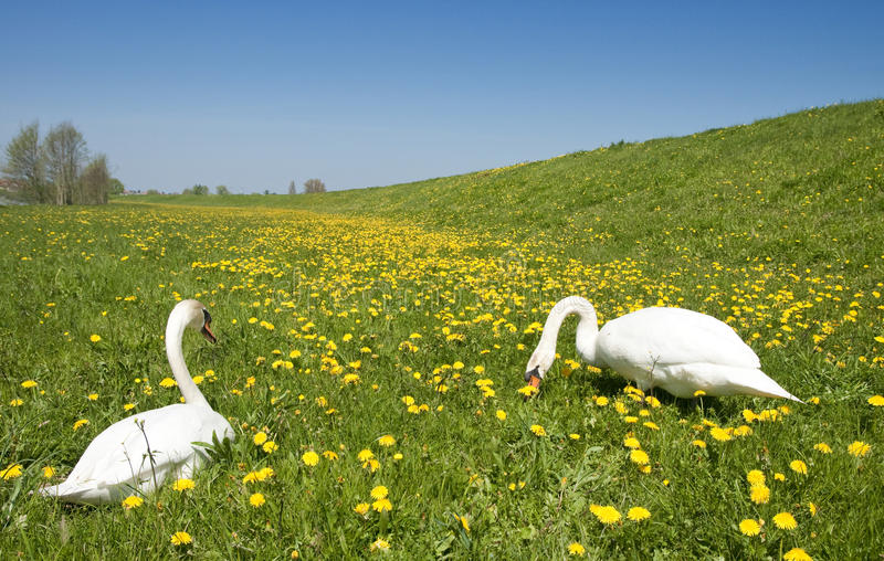Download Two swans in meadow stock photo. Image of outdoors, field - 14393798