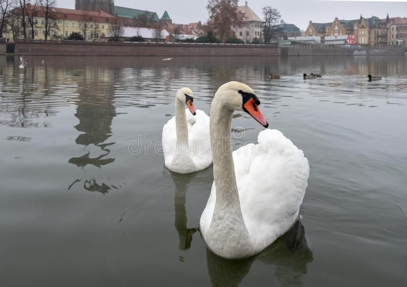 Two swans on Odra River at cold snowy day. Ostrow Tumski district. Wroclaw. Poland royalty free stock photography