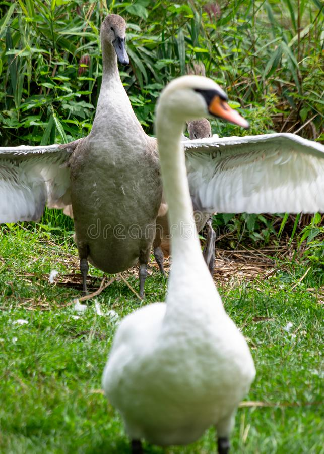 Two swans one is standing second one winds wings royalty free stock images