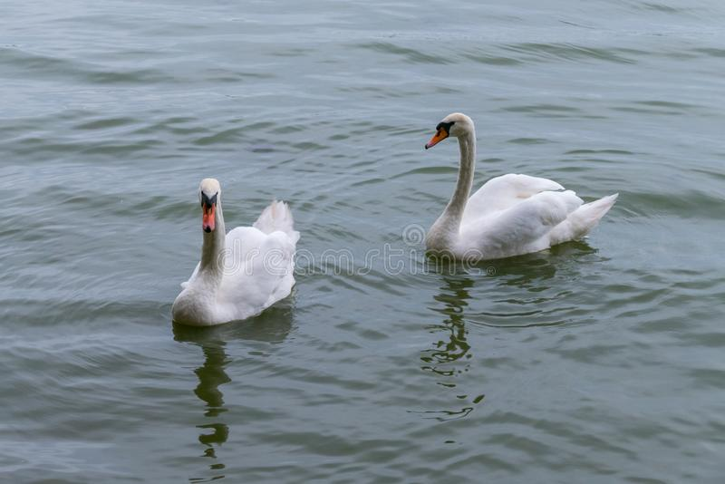 Two swans with orange beaks and white plumage float on the water surface. For your design royalty free stock image