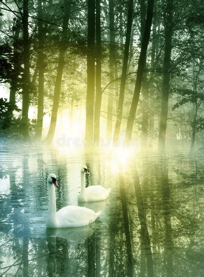 Two swans on a small lake in romantic morning sunrise royalty free stock photography