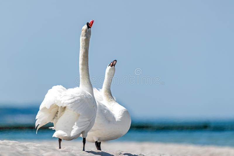 Two swans are standing in the fine sand. Two swans at the beach Cygnus stock photo