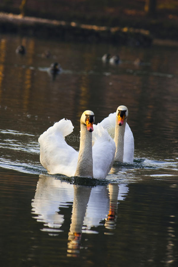 Two swans on sunset. A pair on swans lovely on sunset royalty free stock photography
