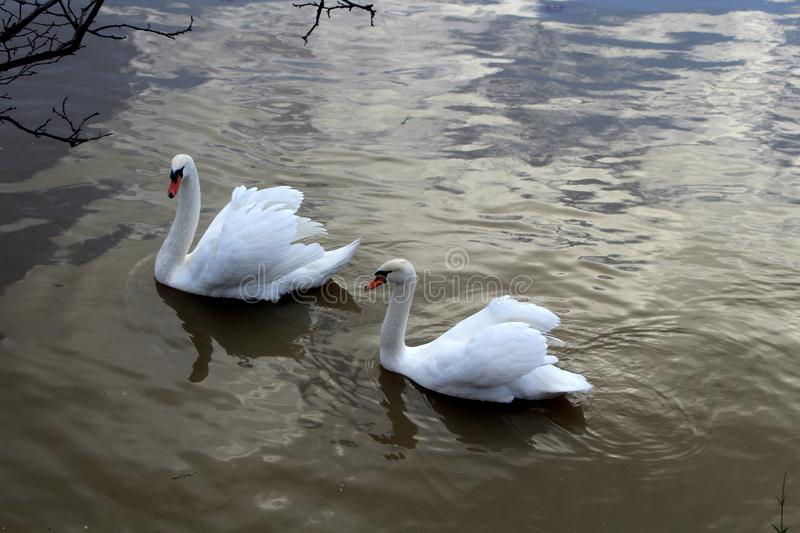 Two swans swim on the waves. Of the river royalty free stock images