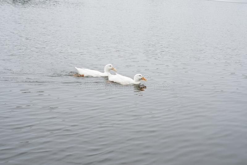 Two swans swimimg stock images