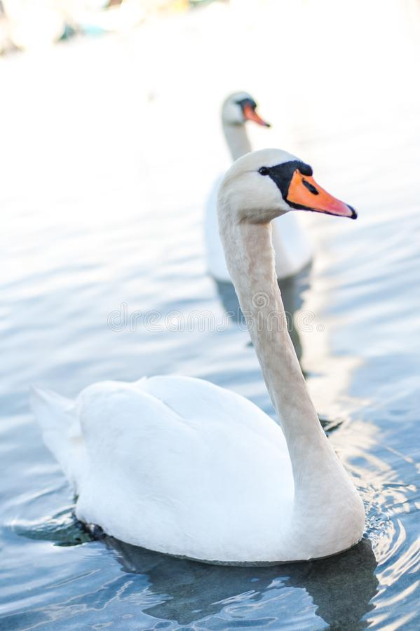 Two Swans swimming in a lake stock image