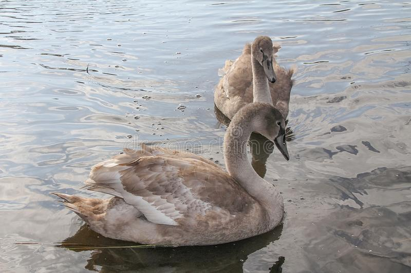 Two swans swimming in the lake royalty free stock image