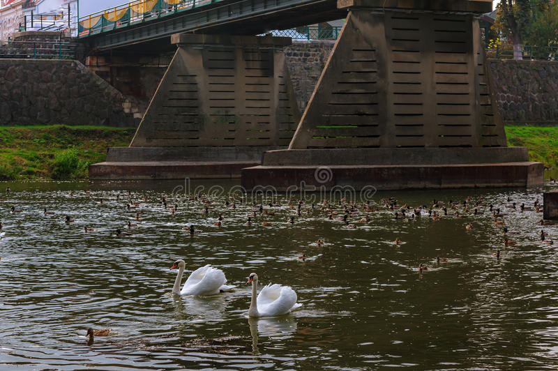 Two swans swimming up a tranquil river together in autumn royalty free stock photography