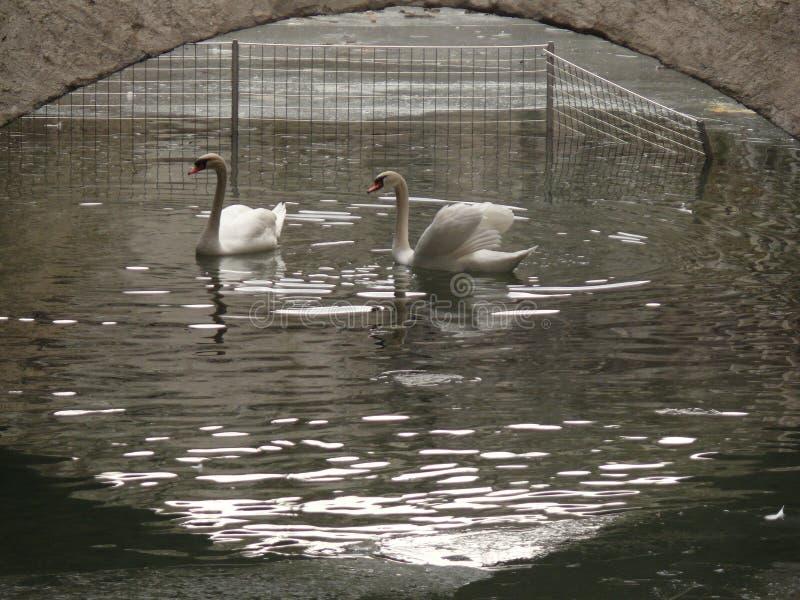 Two swans under a bridge stock images