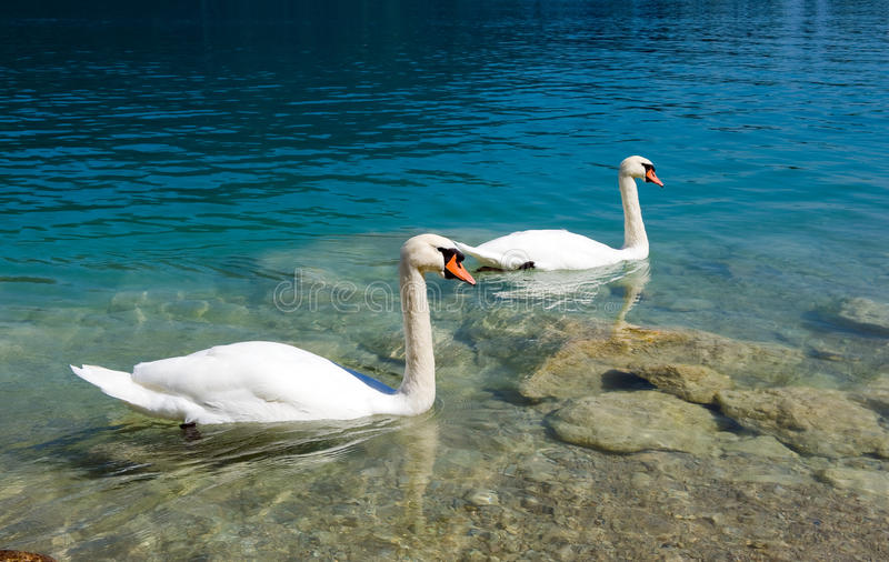 Two swans on the water royalty free stock photography