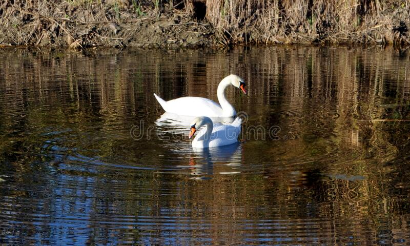 Two swans on the water in Izmail, Ukraine. Two swans swimming royalty free stock images
