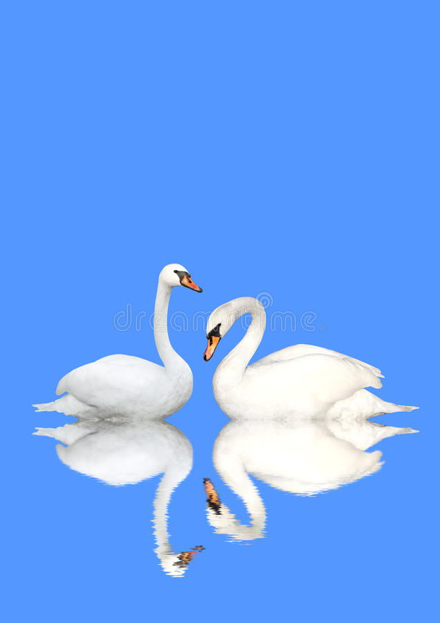 Two swans royalty free stock image