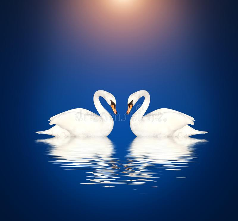 Two white swans on blue background royalty free stock photos