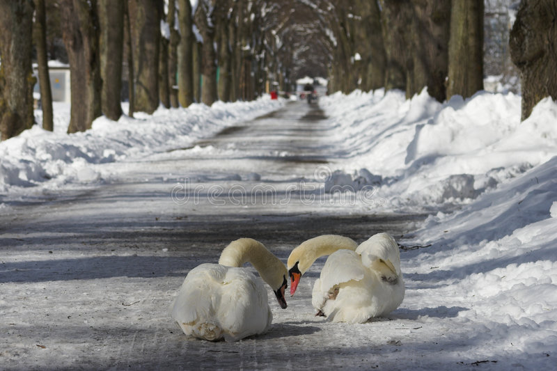 Two swans in winter stock photos