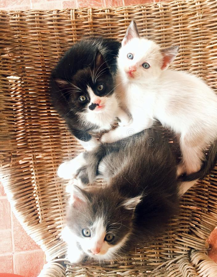 Sweet and beautiful Kittens. Two sweet and beautiful black and white and gray kittens one month old royalty free stock images