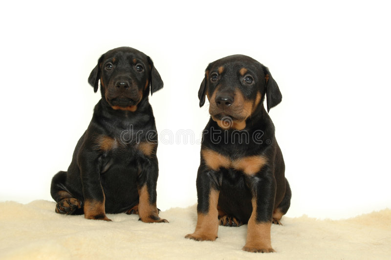 Download Two sweet puppies stock image. Image of pets, animal, face - 1700189