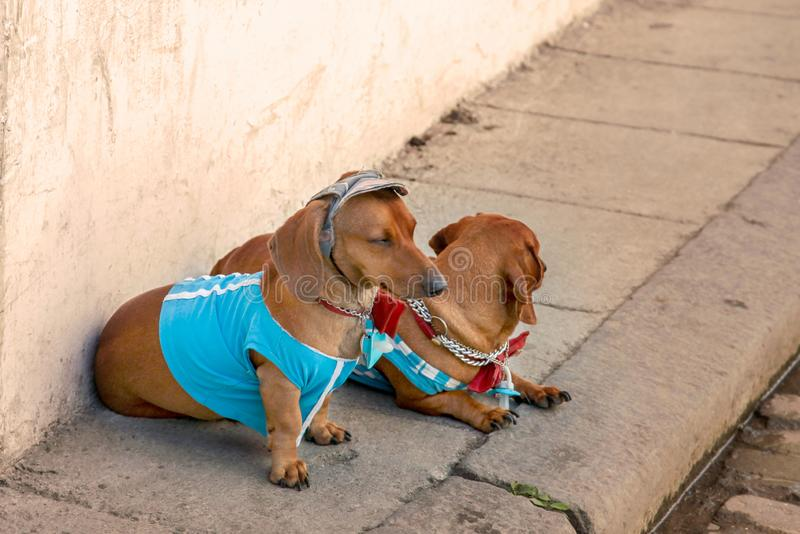 Two sweet red Duchshund dogs wearing casual bright clothes, t-shirts, cap, bow ties sit at the wall on the street. stock photos