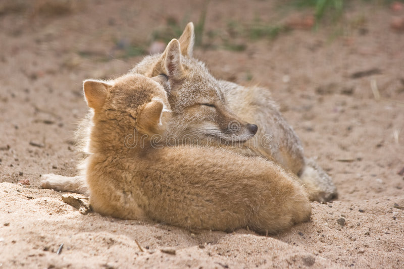 Two swift foxes. Adult female with kid royalty free stock image