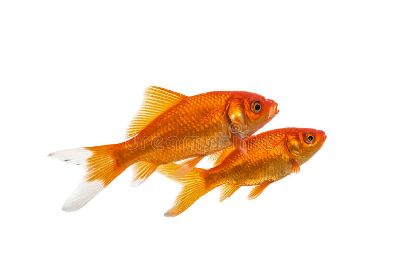 Two swimming goldfish royalty free stock photo