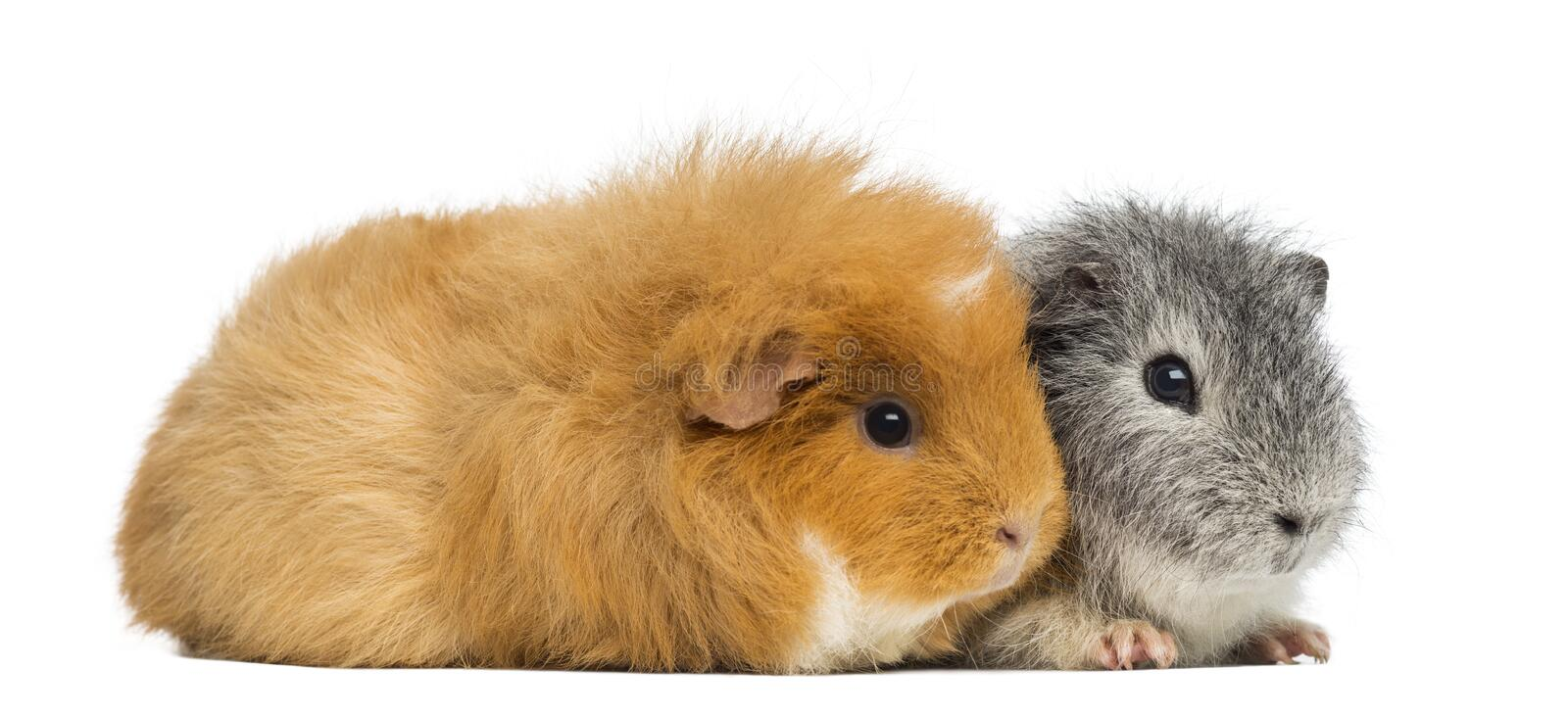 Two Swiss Teddy Guinea Pigs, isolated stock photos