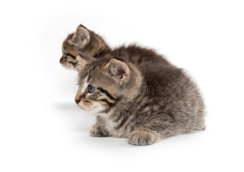 Two tabby kittens on white stock photo