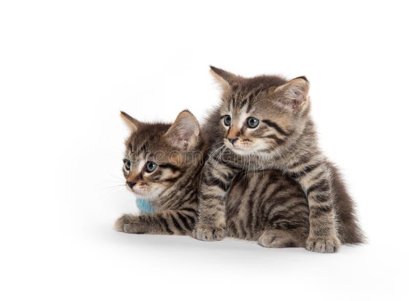 Two tabby kittens on white stock image