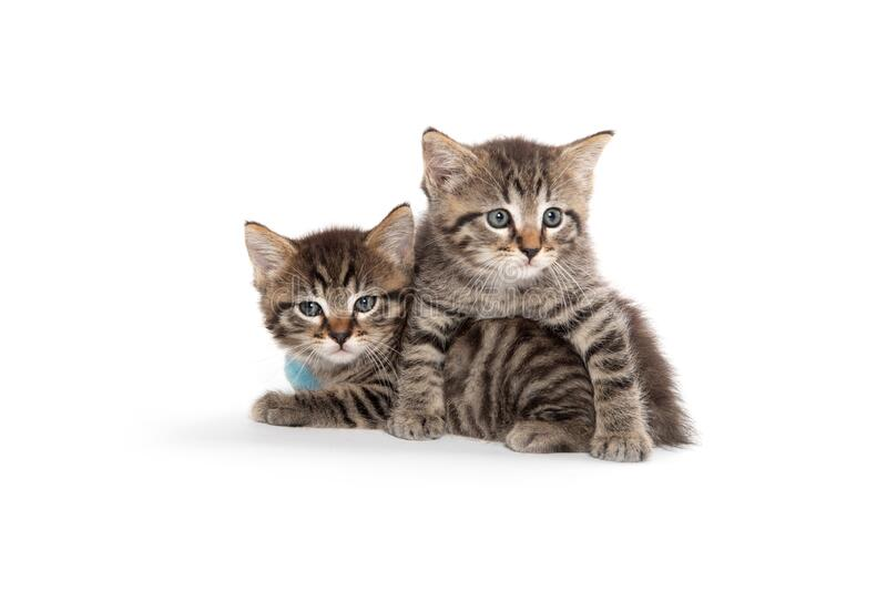 Two tabby kittens on white royalty free stock photo